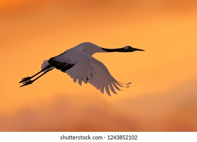 Crane sunset, Japan. Bird fly, wildlife scene from snowy nature. Red-crowned crane flight above snowy meadow, Asia. Cold day in the nature, big white bird on the evening orange sky.