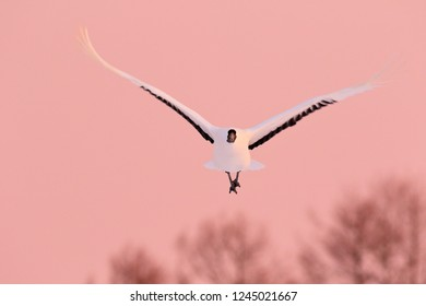 Crane sunset, Japan. Bird fly, wildlife scene from snowy nature. Red-crowned crane flight above snowy meadow, Japan, Asia. Cold day in the nature, big white bird on the evening pink twilight sky.