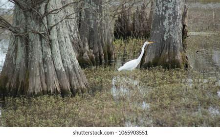 Crane in Swamp