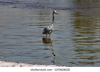 Crane wades in shallow water