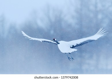 Crane, winter scene with snowflakes. Wildlife scene from snowy nature. Two Red-crowned cranes in snowy meadow, Hokkaido, Japan.  Cold day in the nature, bog white bird in the habitat.
