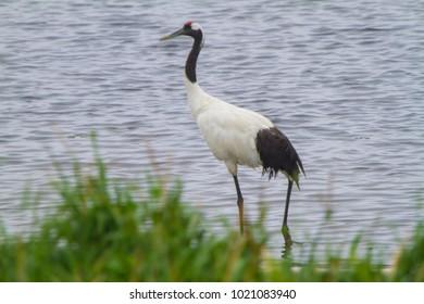 Cranes cranes drontal cranes Hokkaido cranes
