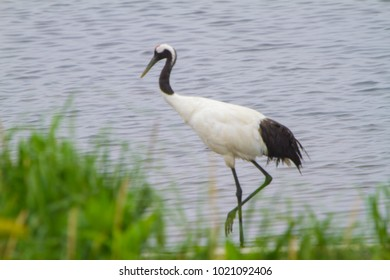Cranes cranes, drontal cranes, Hokkaido cranes