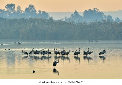 Cranes Flock at Sunrise Lake. Morning Landscape of Hula Valley Reserve. Major stopover for Birds Migrating between Africa, Europe and Asia. North of Israel.  Common Crane, Grus grus, Eurasian Crane.