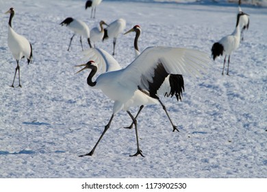 Cranes gathered in wintering areas of Hokkaido and Kushiro Cranes gathered at feeding sites in wintering areas