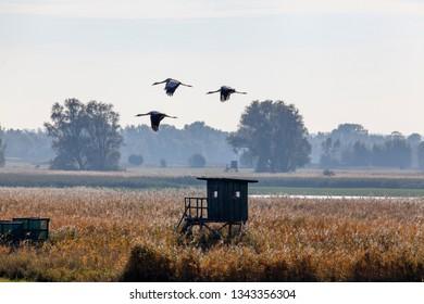 Cranes, Grus grus