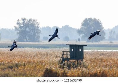 Cranes, Grus grus, crossing fields in Mecklenburg-Vorpommern