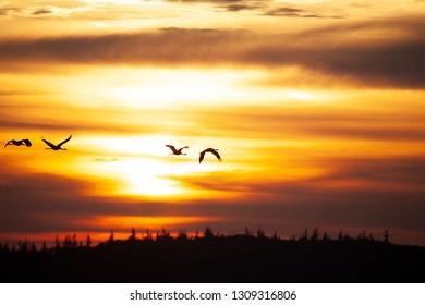 Cranes, Grus grus, in Mecklenburg-Vorpommern, Germany
