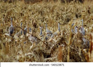 Cranes hidden in a cornfield. Poblanos Fields Open Space, Albuquerque, New Mexico.