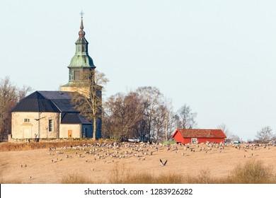 Cranes on the field at Bjurum church by the lake Hornborgasjon
