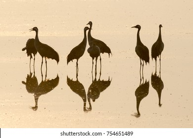 Cranes on a golden sunrise in a lake