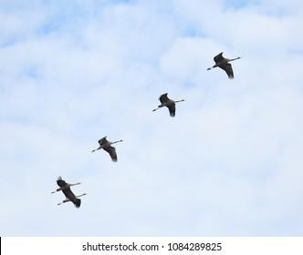 Cranes return home