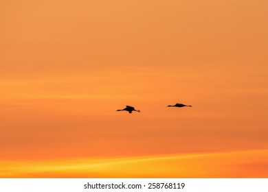 Cranes in silluet at dawn