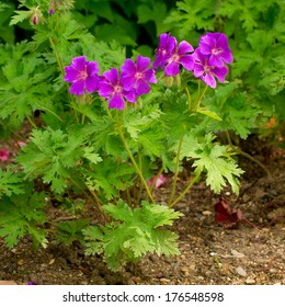 Cranesbill flower (Geranium)