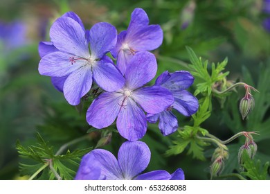Cranesbills, blue Geranium Rozanne in bloom in the garden