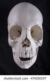cranium skull bone