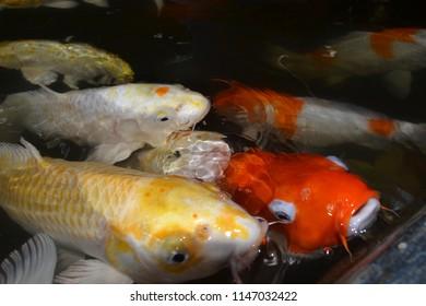 crap fish in pool garden