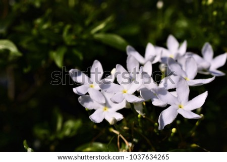 Crape jasmine tagar flower indian white stock photo edit now crape jasmine or tagar flower of indian white flowers with soft petals like snow mightylinksfo