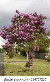 Crape Myrtle Street. A street in Toowoomba Australia is decorated with the beautiful Crape Myrtle Tree. A row of Crape Myrtles in full flower line the street set off by a coming storm.