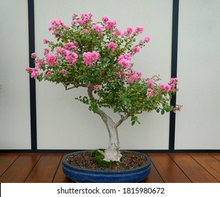 A crape-myrtle bonsai tree with light pink flowers inside a ceramic pot