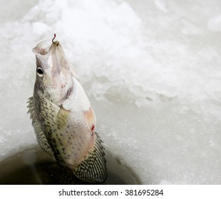Crappie being pulled out of an ice fishing hole after being hooked