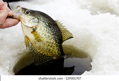 crappie caught while ice fishing being pulled from the hole