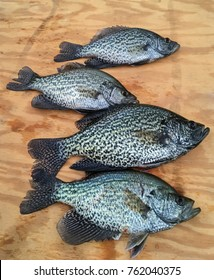 Crappie fish displayed on wood board. Fisherman's catch of the day. Freshwater pan fish caught and ready to clean and cook.