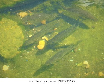 crappie fish in a small pool of water