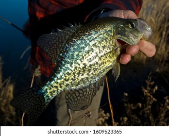 crappie fishing with red flannel close up of fish
