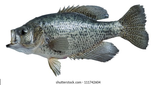 Crappie isolated on white