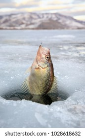 crappie pan fish being pulled out of ice hole in Northern Utah