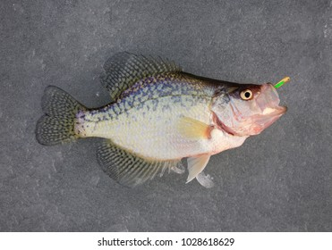 crappie pan fish with lure in mouth on ice