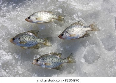 crappies catch laying on a frozen freshwater lake