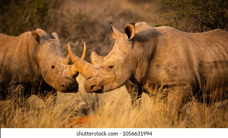 A crash of white rhino