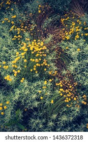 Craspedia  billy buttons flowers in garden background