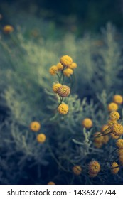 Craspedia  billy buttons flowers in garden background  closeup selective focus