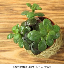 Crassula in a decorative flower pot on a wooden table. Houseplant. Floriculture.