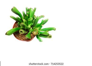 Crassula Gollum or Trumpet (Finger) Jade on white background