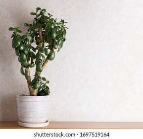 Crassula or money tree in whiteflower pot jn a light background. Modern houseplants