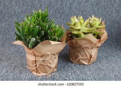 "Crassula ovata ""Gollum"" and Sedum adolphii ""Golden Glow"" succulent plants isolated on grey background"