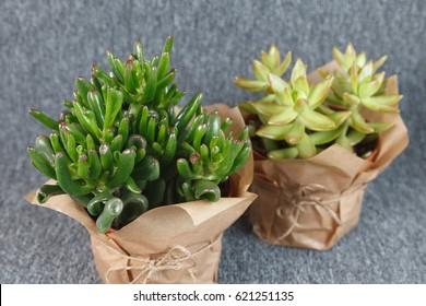 "Crassula ovata ""Gollum"" and Sedum adolphii succulent plants isolated on grey background"