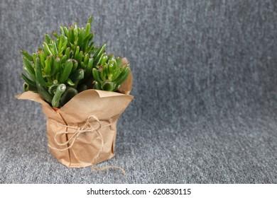 "Crassula ovata ""Gollum"" succulent plant isolated on grey background"