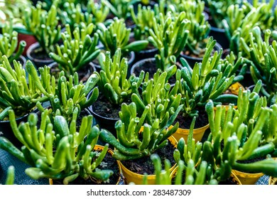 Crassula ovata Hobbit commonly known as jade plant, friendship tree, lucky plant, or money tree. It is native to South Africa, and is common as a houseplant worldwide.