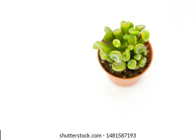 Crassula ovata 'Hobbit' (Hobbit Jade)  is a small branched, shrubby succulent , with interesting leaves, has leaves that nearly tubular and curled back around.