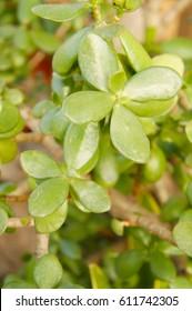 Crassula portulacea or gollum fingers green plant