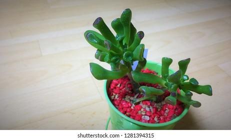 Crassula portulacea monstrosa 'Gollum'. It's a kind of jade tree.