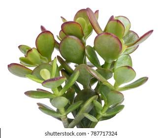 Crassula portulacea plant  isolated on white background