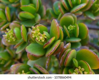 Crassulaceae succulent plant. Detail in a close up
