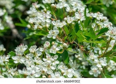 Crataegus flowers in May