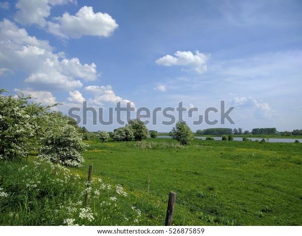 Crataegus or hawthorn blooming in Dutch river landscape, River Rhine in background.